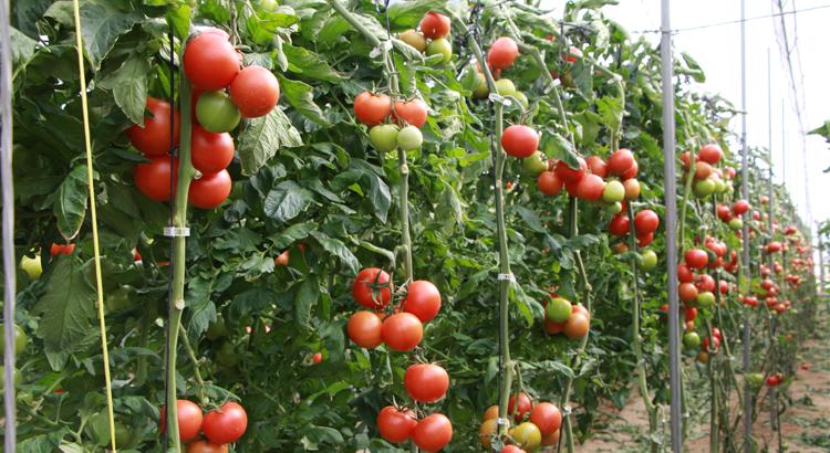 180207_LauraOtero_tomate